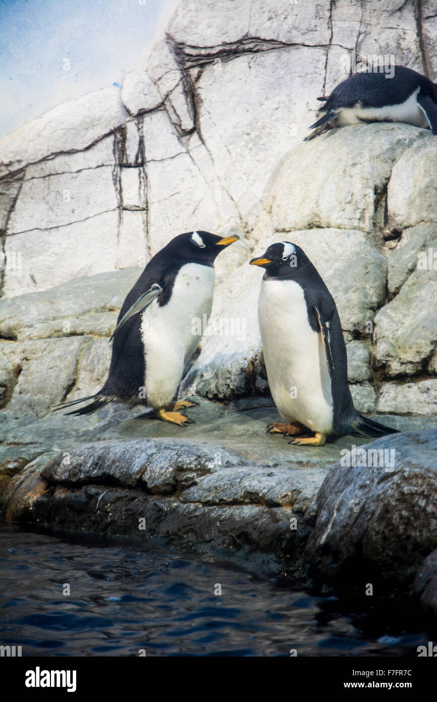 Penguins on exhibit at the Indianapolis Zoo, Indianapolis, Indiana, USA. - Stock Image