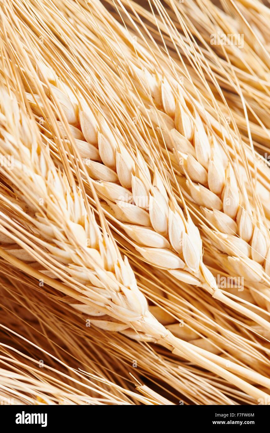 Closeup of ears of corn - Stock Image