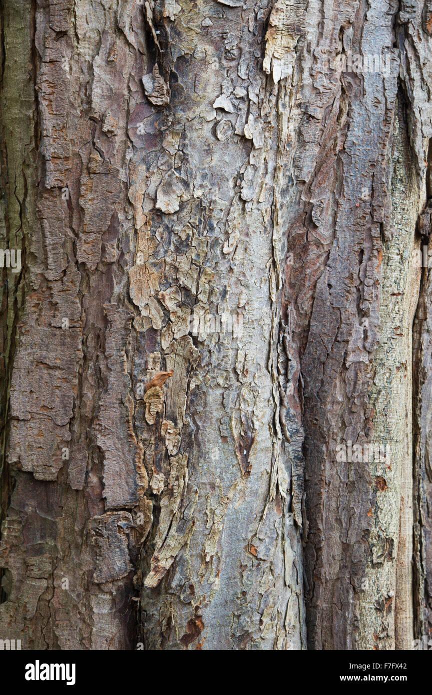 Aesculus Hippocastanum. Horse chestnut tree bark - Stock Image
