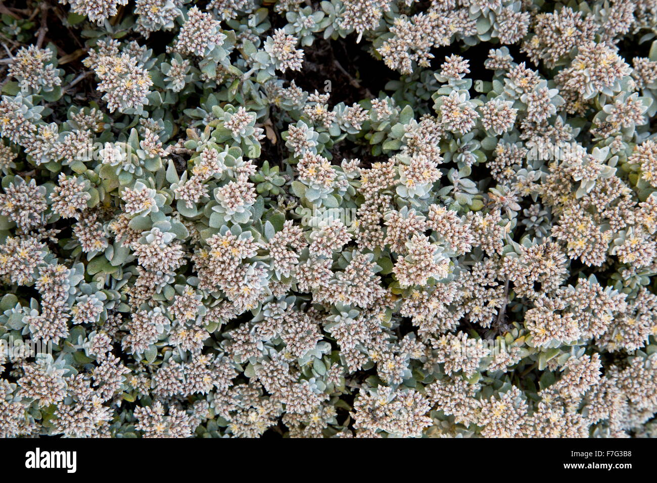 Polycarpaea nivea in flower. Good for bees. Lanzarote - Stock Image