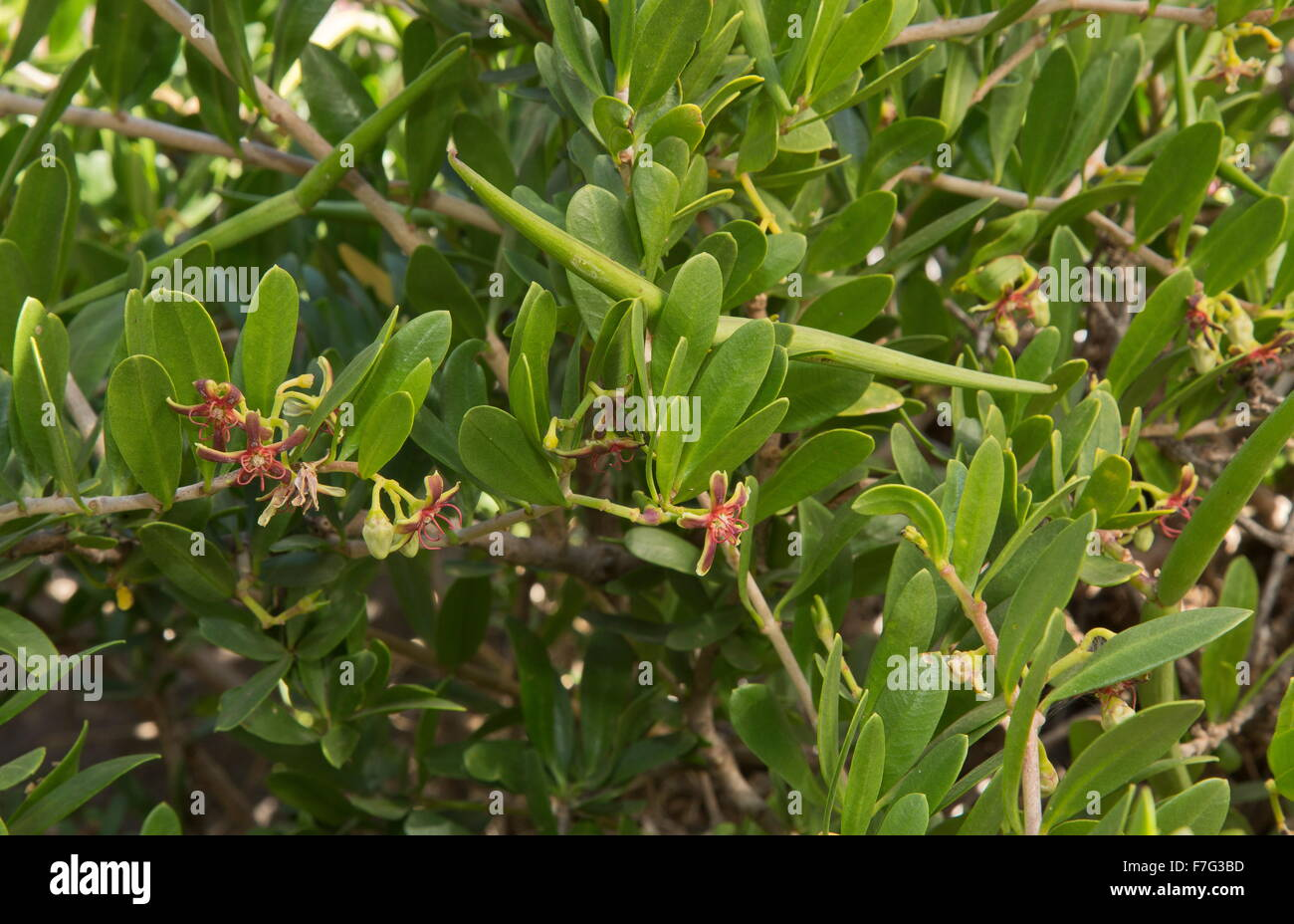 A shrubby milkweed relative, Periploca laevigata, in flower and fruit. Lanzarote. - Stock Image