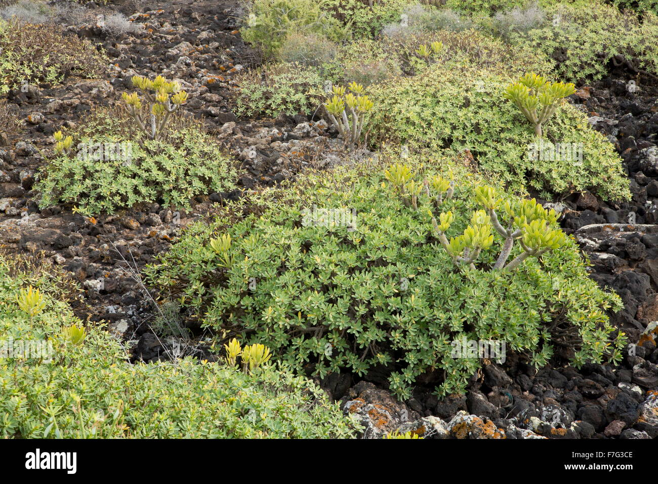 Two Canaries succulents, Verode (Kleinia neriifolia), and Balsam Spurge, Euphorbia balsamifera.  Lanzarote. Stock Photo