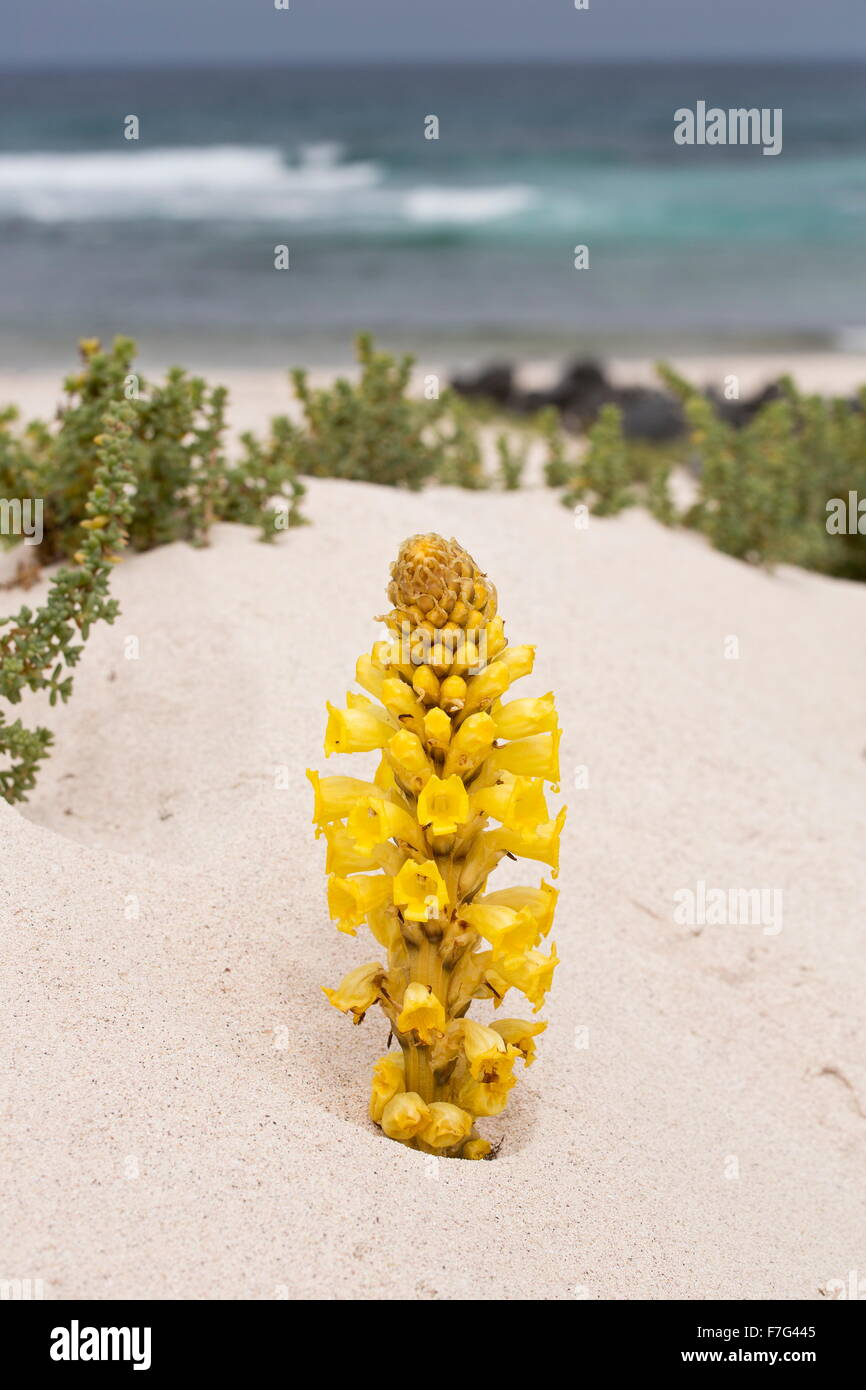 Yellow Cistanche, a parasitic member of the broomrape family, Cistanche phelypaea, on sand dunes. Parasitic on Chenopodiaceae. L Stock Photo