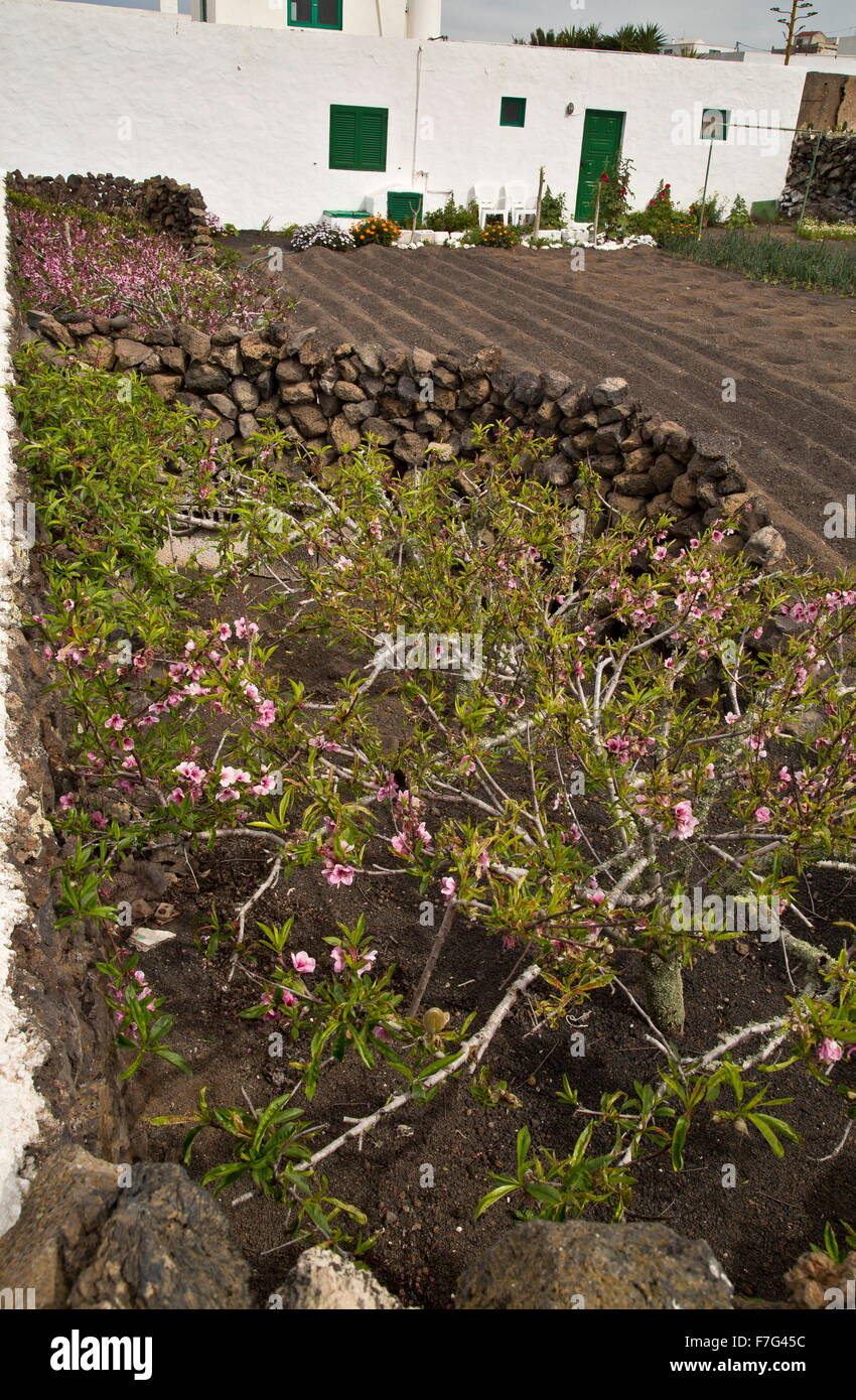 Dwarfed Almond tree growing in protecting wall, Lanzarote. - Stock Image