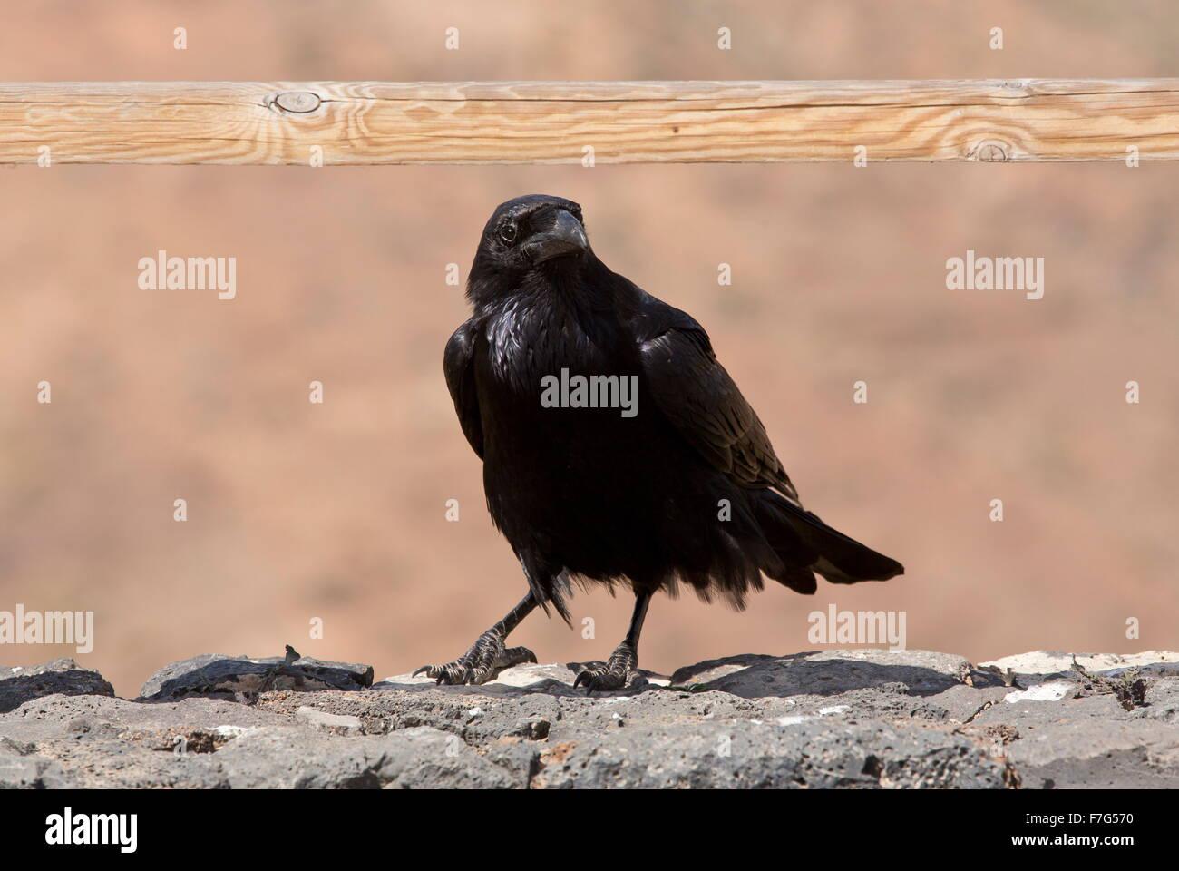 Canaries/North African subspecies of Raven, Corvus corax tingitanus, Fuerteventura - Stock Image