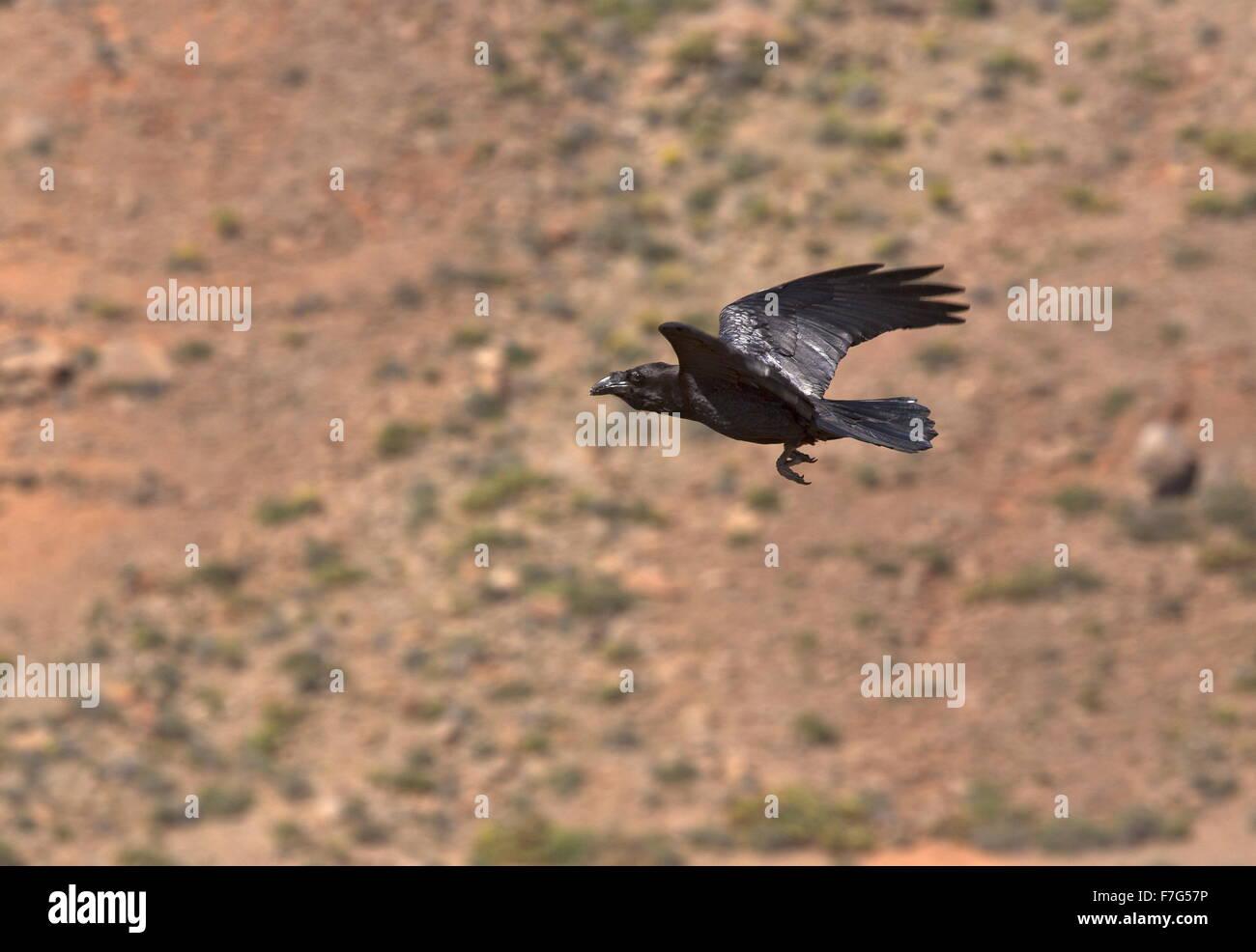 Canaries/North African subspecies of Raven, Corvus corax tingitanus, in flight; Fuerteventura - Stock Image