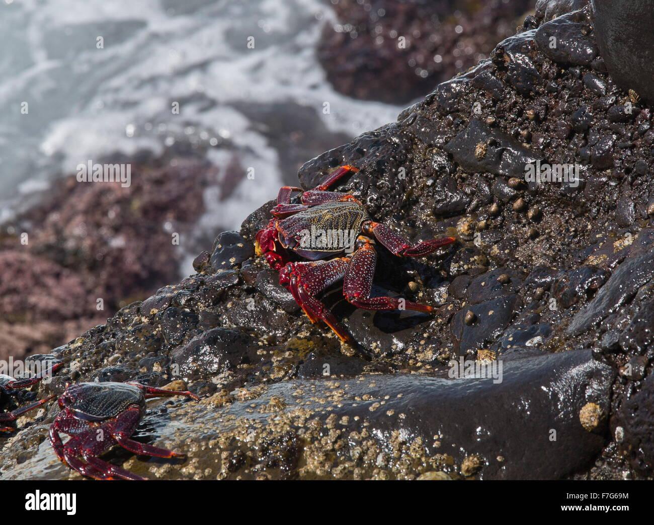 Atlantic Rock Crab, Grapsus adscensionis, on the edge of the ocean, West coast of Lanzarote. Stock Photo