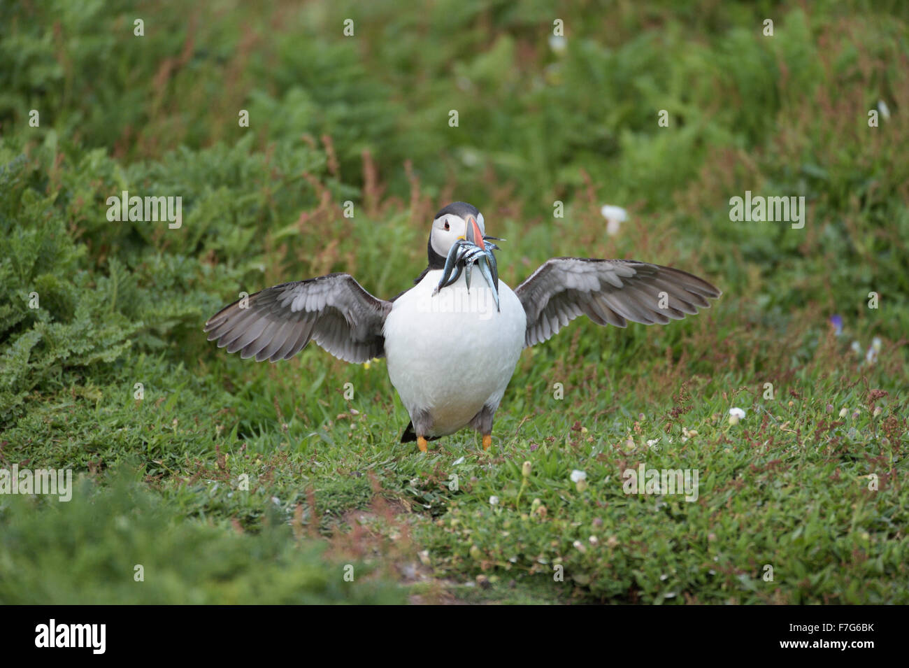 Puffin (Fratercula arctica) on the ground flapping wings with sandeels in beak - Stock Image
