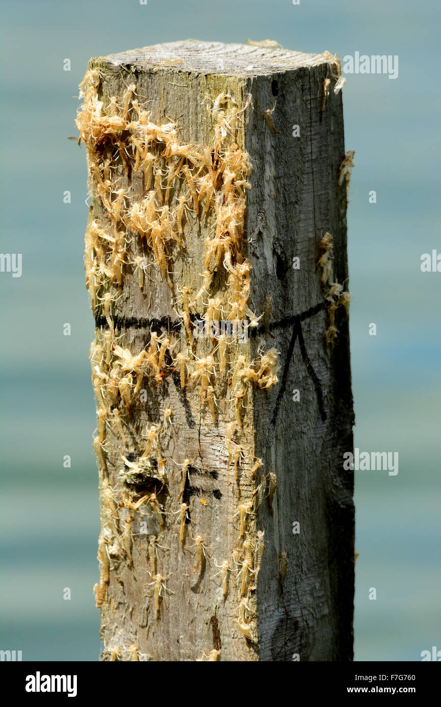 Mayfly exoskeletons stuck on wooden post Stock Photo
