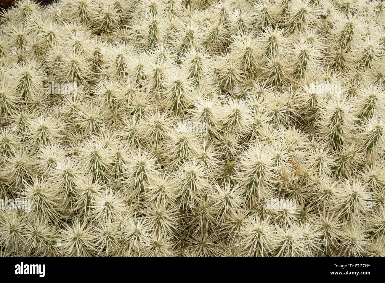 Thistle cholla, Cylindropuntia tunicata, from Mexico region. Stock Photo