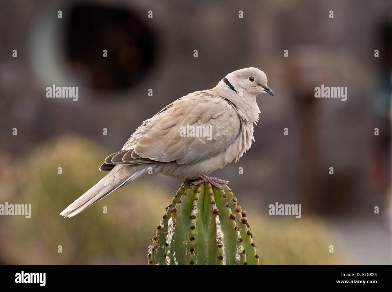 Eurasian collared dove, Streptopelia decaocto, on cactus, Lanzarote. Stock Photo