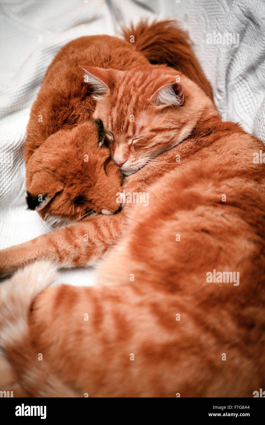 An Orange Tabby Cat Is Curled Up Sleeping Cuddled Against An Orange