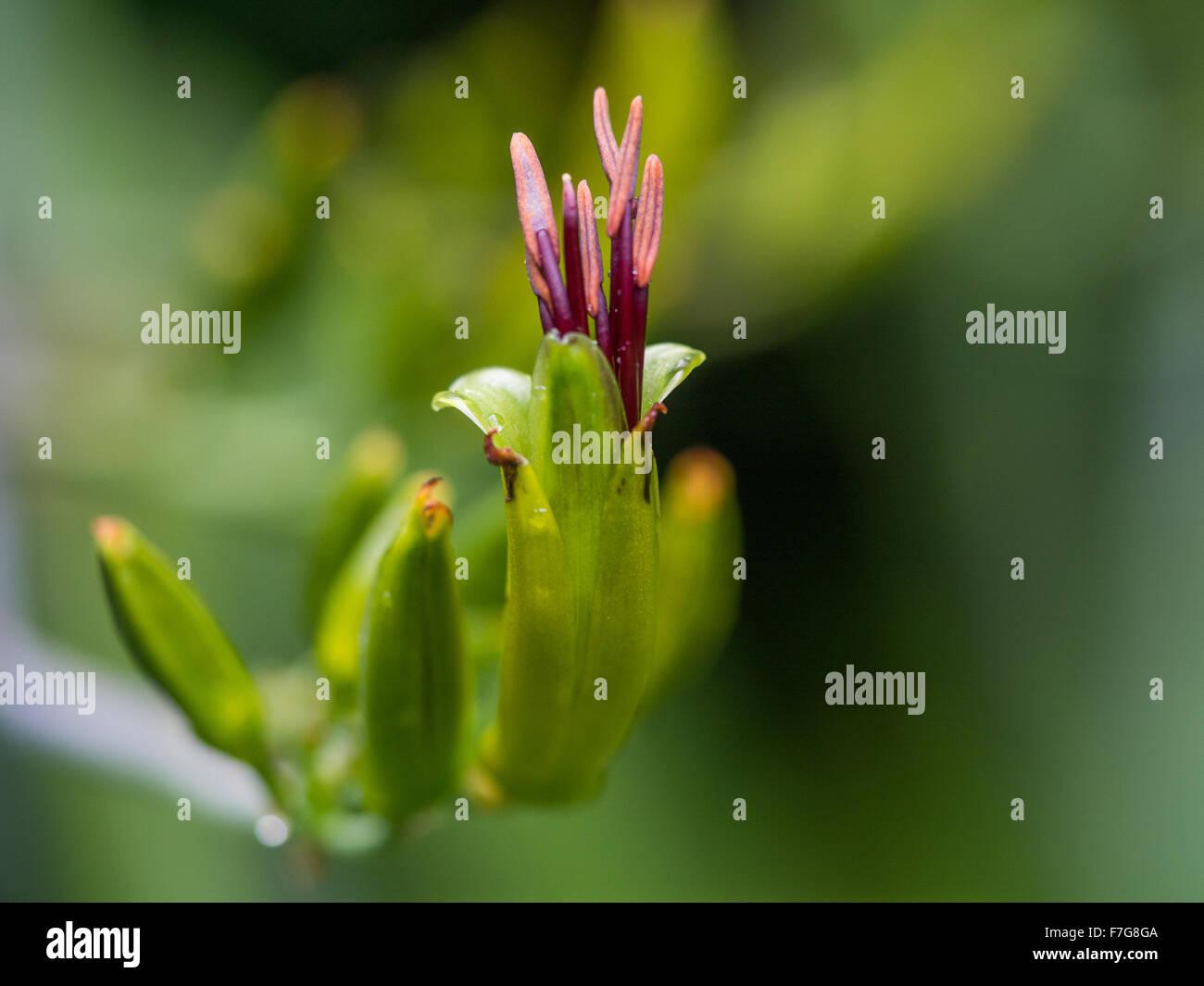 Flax Stamens emerge from  Wharariki  Flax (Phormium cookianum) Flower. Spring, Pohueroa, Whanganui, North Island, - Stock Image