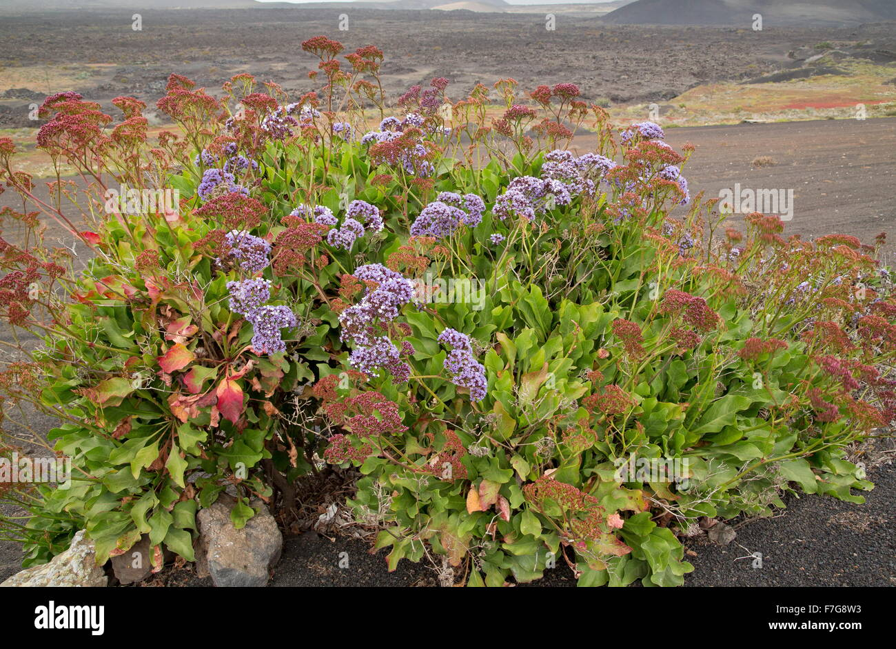 Bourgeau's sea-lavender, Limonium bourgeaui - endemic to the eastern Canaries. Lanzarote. - Stock Image