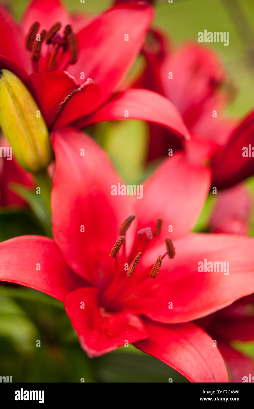 Red lily showing stamens large flower macro deciduous perennial red lily showing stamens large flower macro deciduous perennial plant in the liliaceae family flowers grow in poland europe mightylinksfo