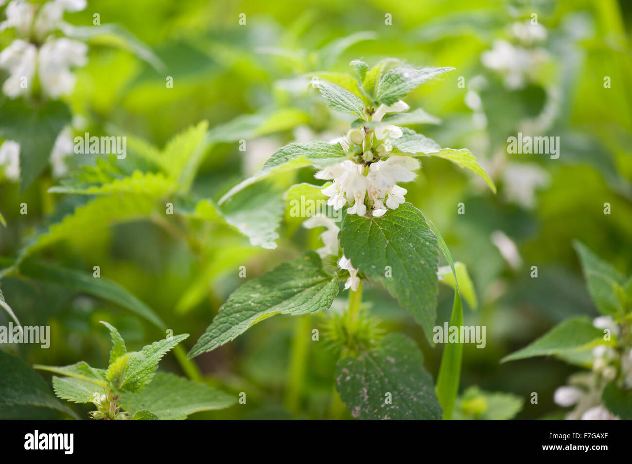 Lamium Album White Flowers Macro Herbal Medicine Flowering