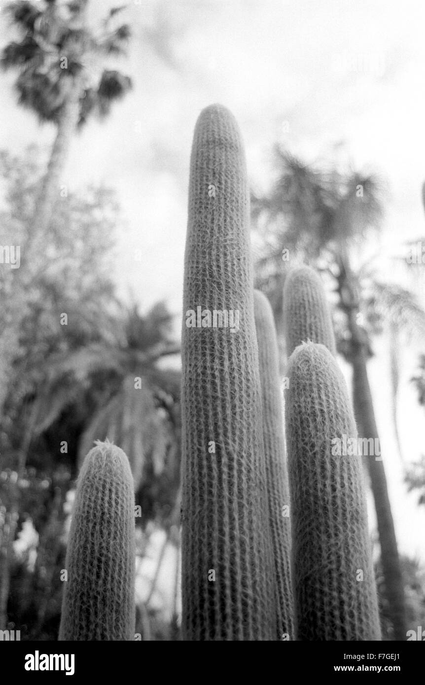 Cacti plants fill the landscape at Majorelle Gardens, Marrakesh. - Stock Image