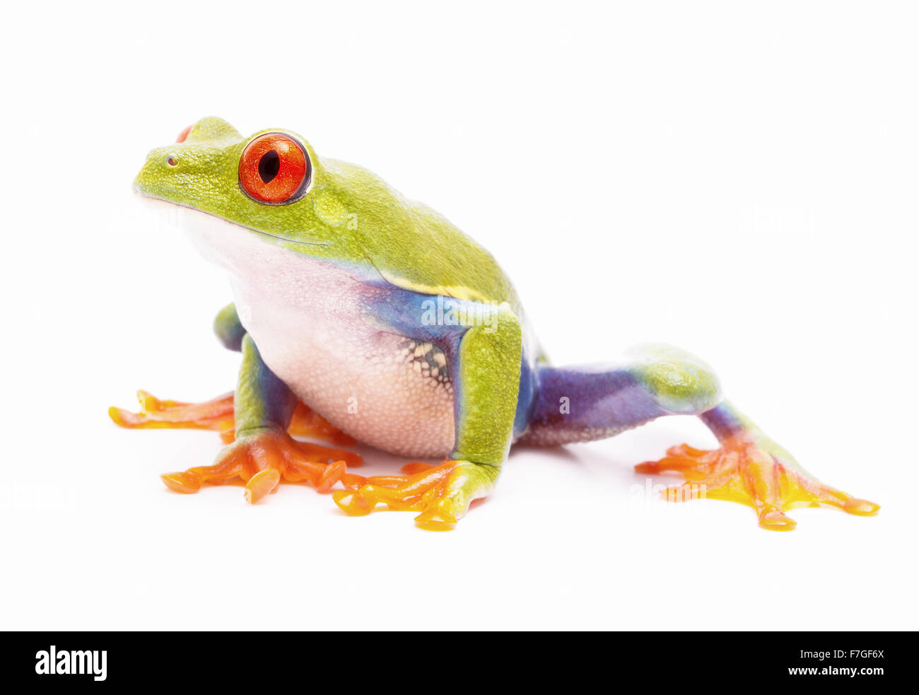 red eyed tree frog isolated on white a macro of a beautiful rain forest treefrog of the jungles of Costa Rica, Panama - Stock Image