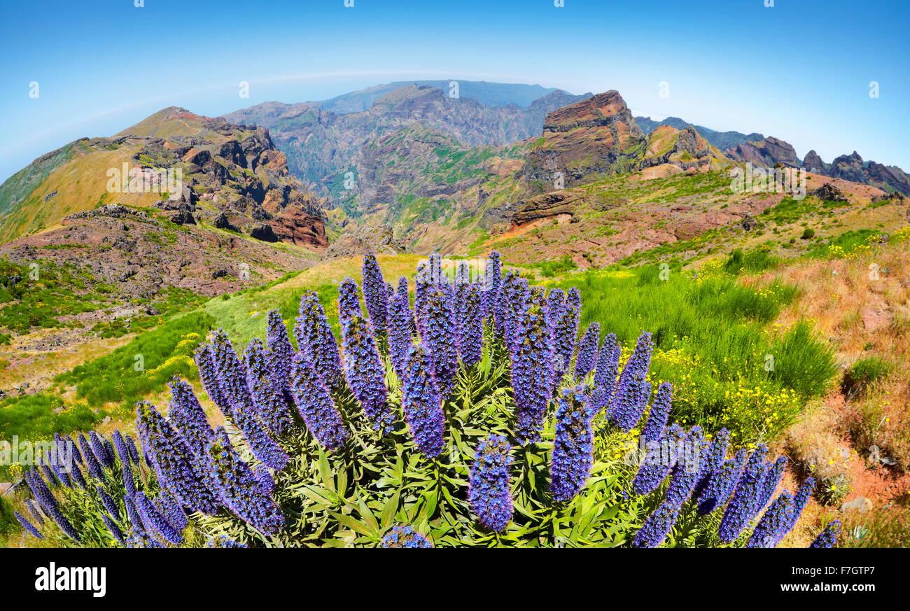Flowers at the Pico do Arieiro (1816m), Madeira Island, Portugal - Stock Image