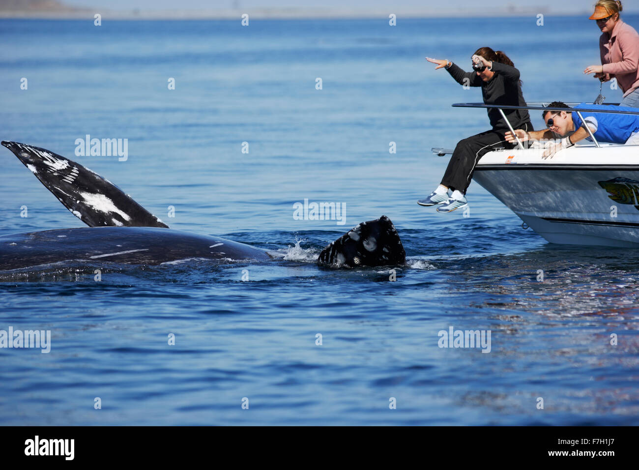 pr0044-D. Gray Whale (Eschrichtius robustus) upside down, seemingly interacting with people on boat. Magdalena Bay, - Stock Image