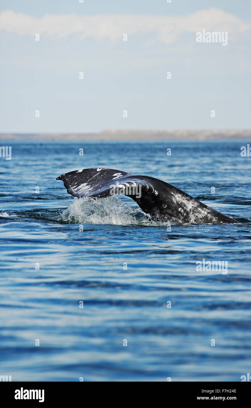 pr0195-D. Gray Whale (Eschrichtius robustus) tail flukes. Baja, Mexico. Photo Copyright © Brandon Cole. All - Stock Image