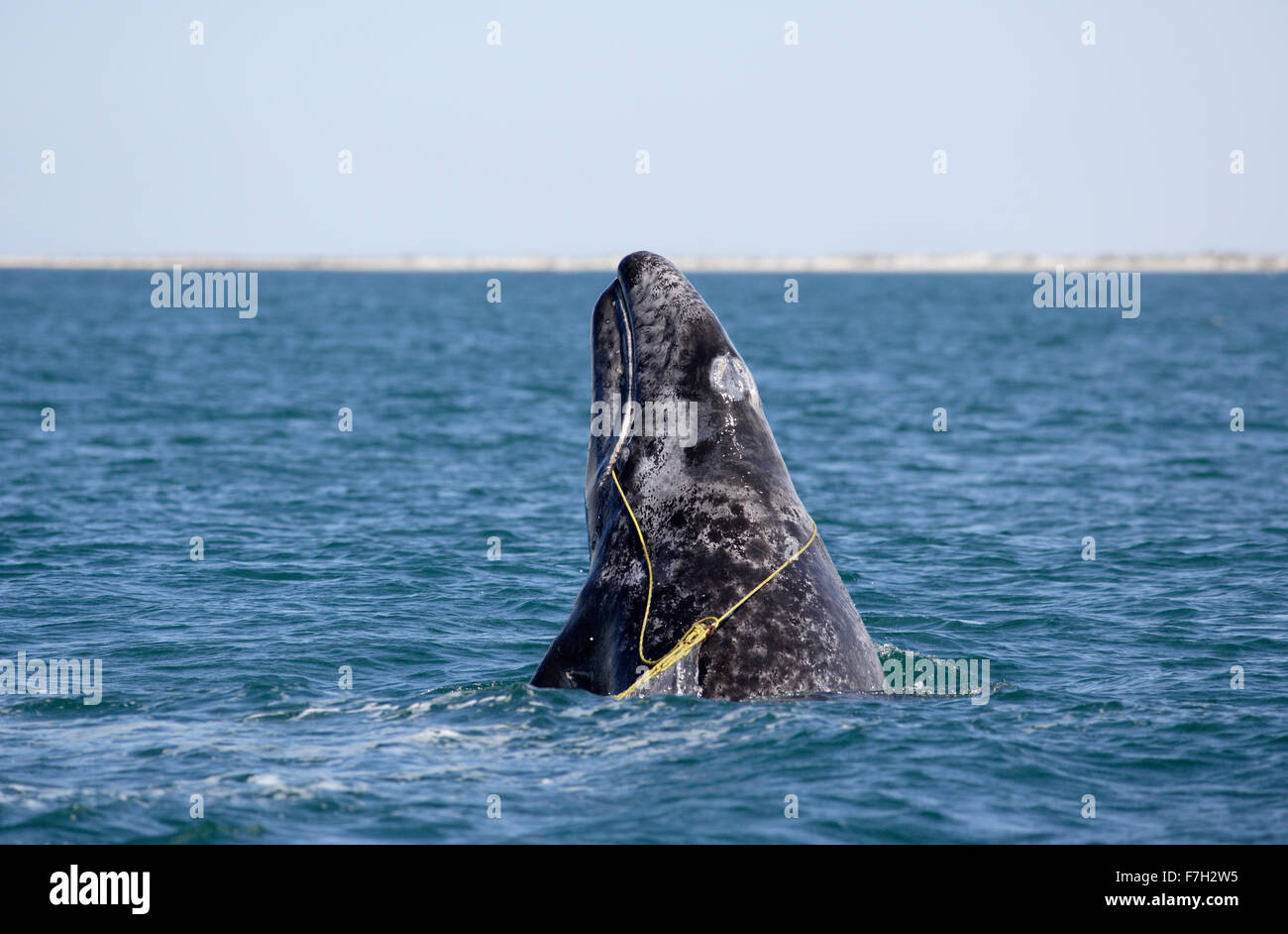 pr0258-D. Gray Whale (Eschrichtius robustus) breaching. This juvenile is entangled in a lobster trap line. Baja, - Stock Image