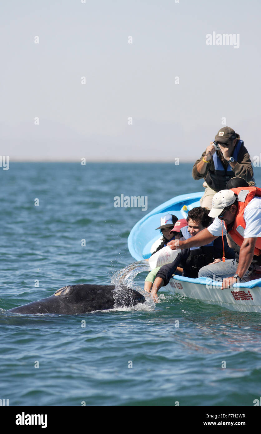 pr0314-D. Gray Whale (Eschrichtius robustus), curious playful calf loves attention. People splash water to its delight. - Stock Image