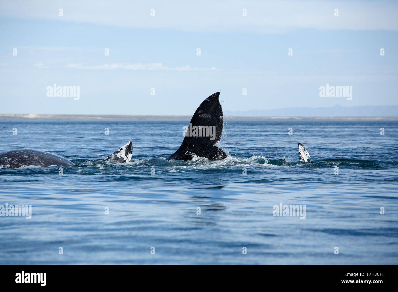 pr5227-D. Gray Whales (Eschrichtius robustus), a mating group- two males and one female. San Ignacio Lagoon, Baja, - Stock Image