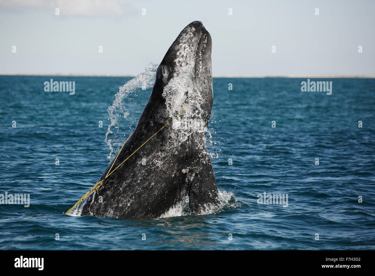 pr5272-D. Gray Whale (Eschrichtius robustus) breaching, juvenile entangled in a lobster trap line. The rope is caught - Stock Image