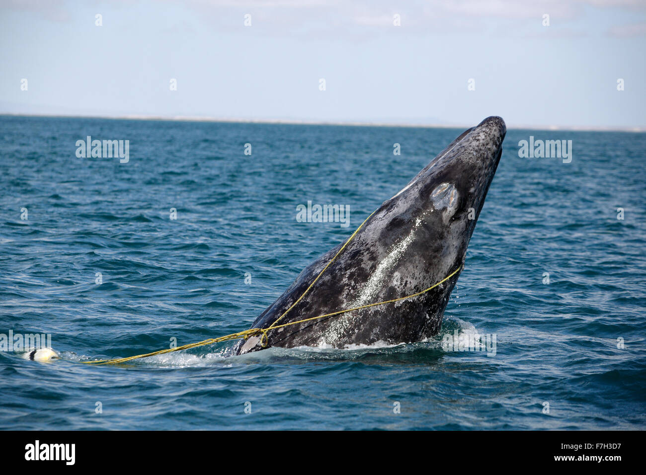 pr5305-D. Gray Whale (Eschrichtius robustus) breaching, juvenile entangled in a lobster trap line. The rope is caught - Stock Image