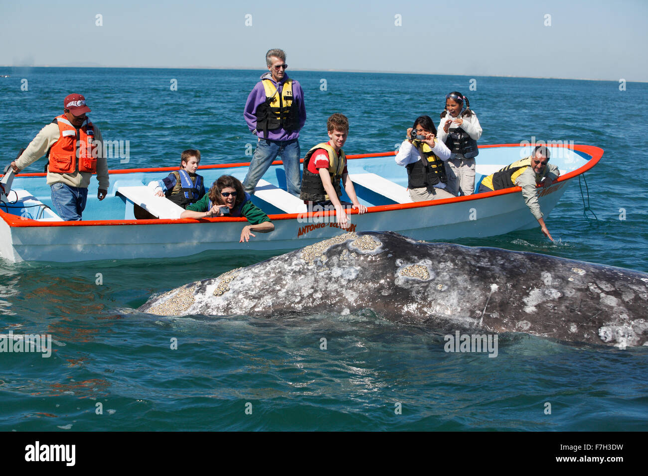 pr5351-D. Gray Whale (Eschrichtius robustus). Curious adult whale approaches boat to the delight of tourists. San - Stock Image
