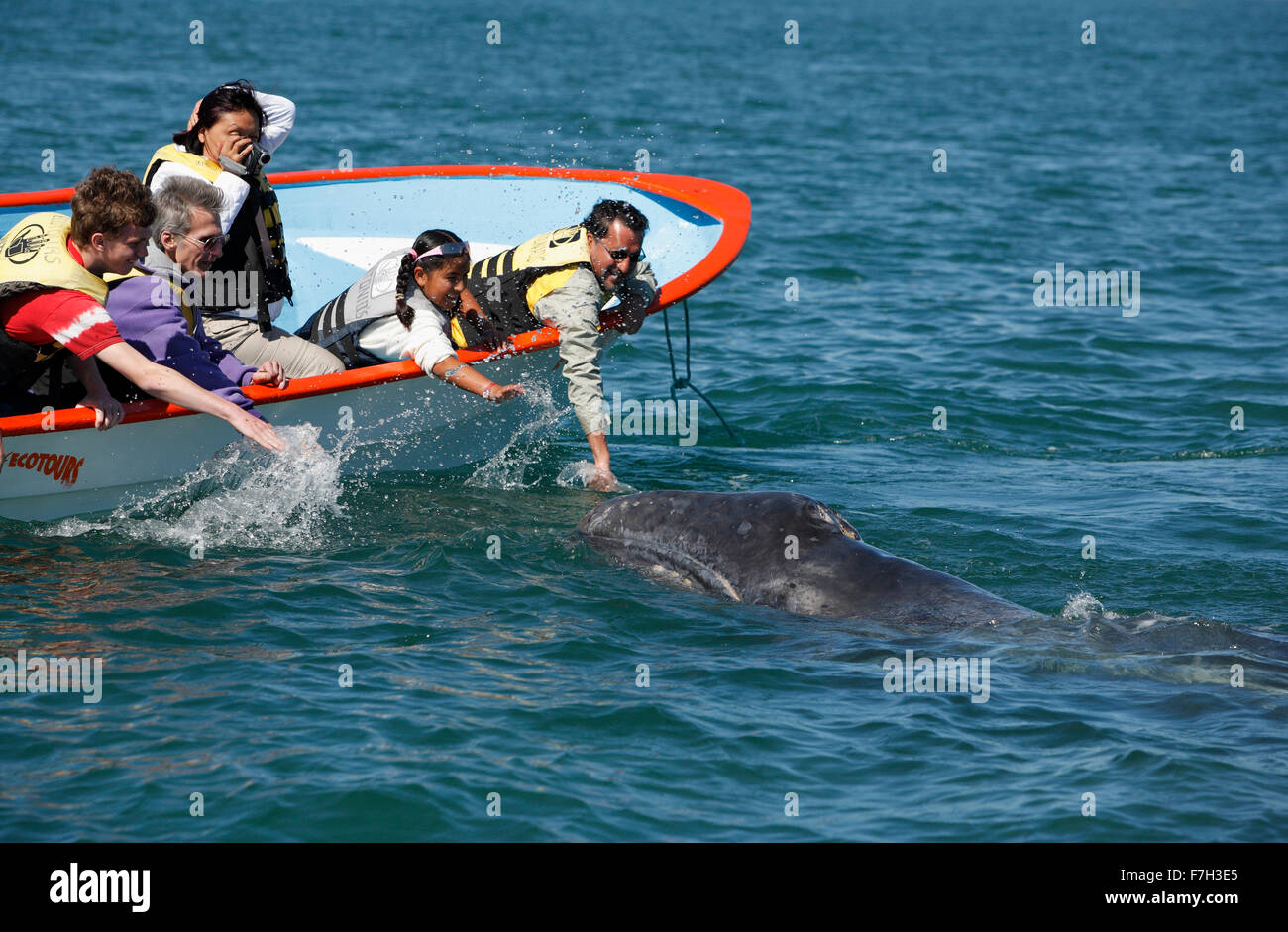 pr5357-D. Gray Whale (Eschrichtius robustus). Curious calf approaches boat to the delight of tourists. San Ignacio - Stock Image