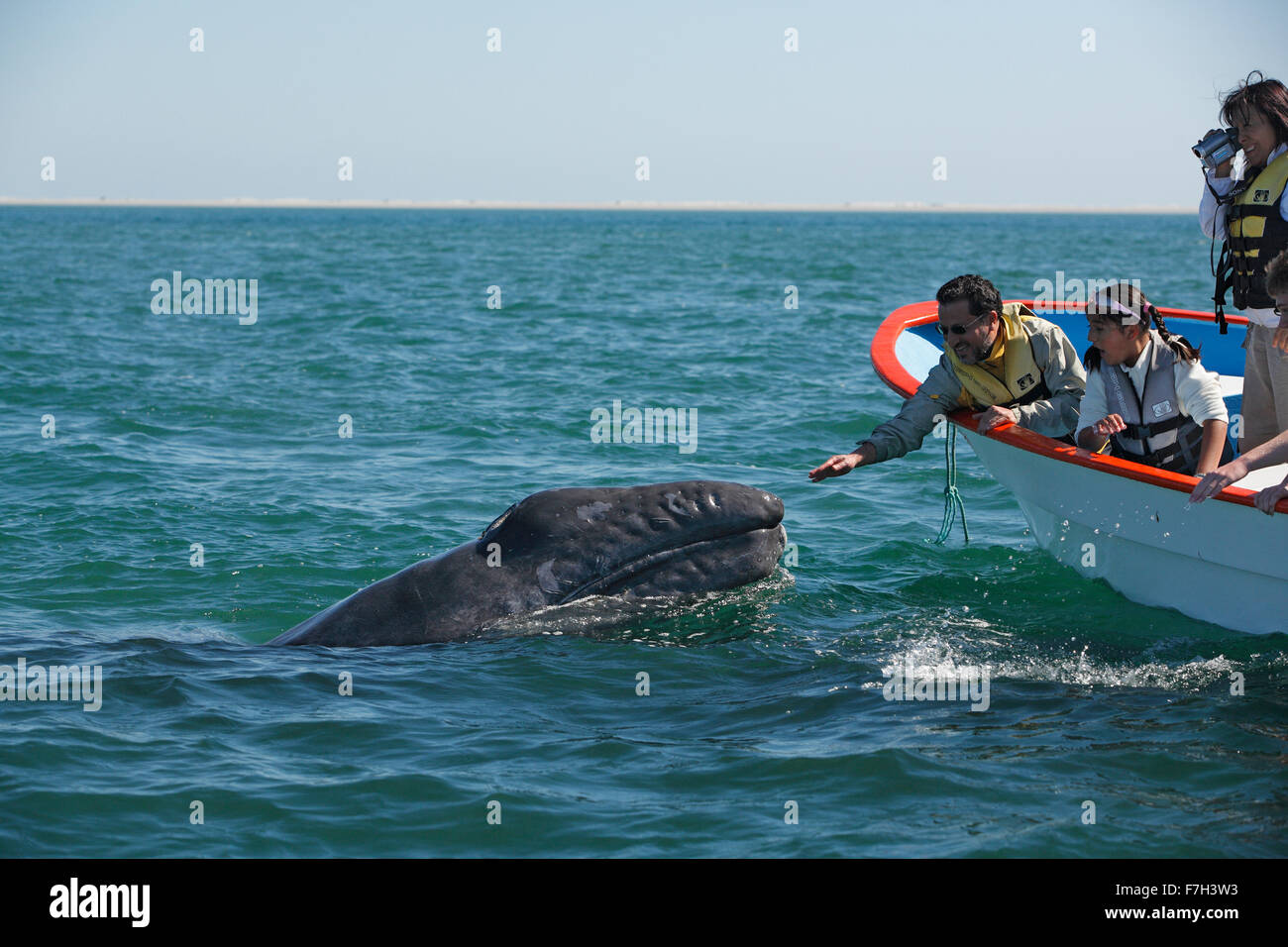 pr5361-D. Gray Whale (Eschrichtius robustus), curious calf approaches boat to accept gentle human touch from family. - Stock Image