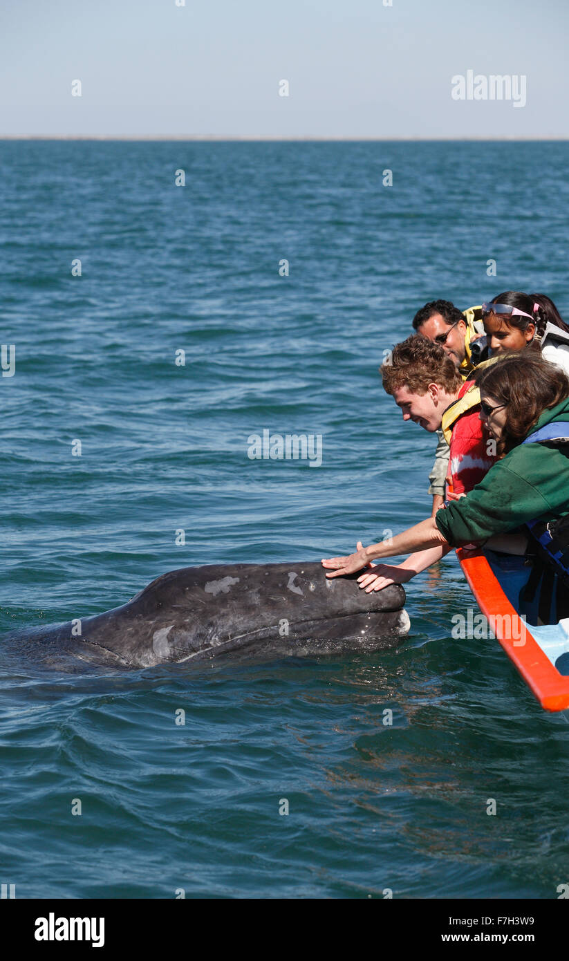 pr5365-D. Gray Whale (Eschrichtius robustus), curious calf approaches boat to accept gentle human touch. San Ignacio - Stock Image
