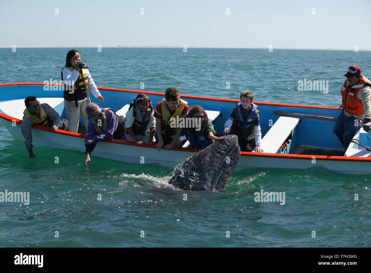 pr5376-D. Gray Whale (Eschrichtius robustus), curious calf approaches boat to accept gentle human touch. San Ignacio - Stock Image