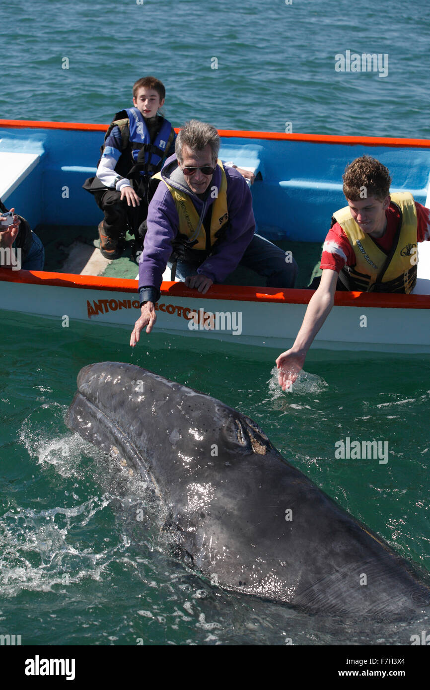 pr5393-D. Gray Whale (Eschrichtius robustus), curious calf approaches boat to accept gentle human touch. San Ignacio - Stock Image