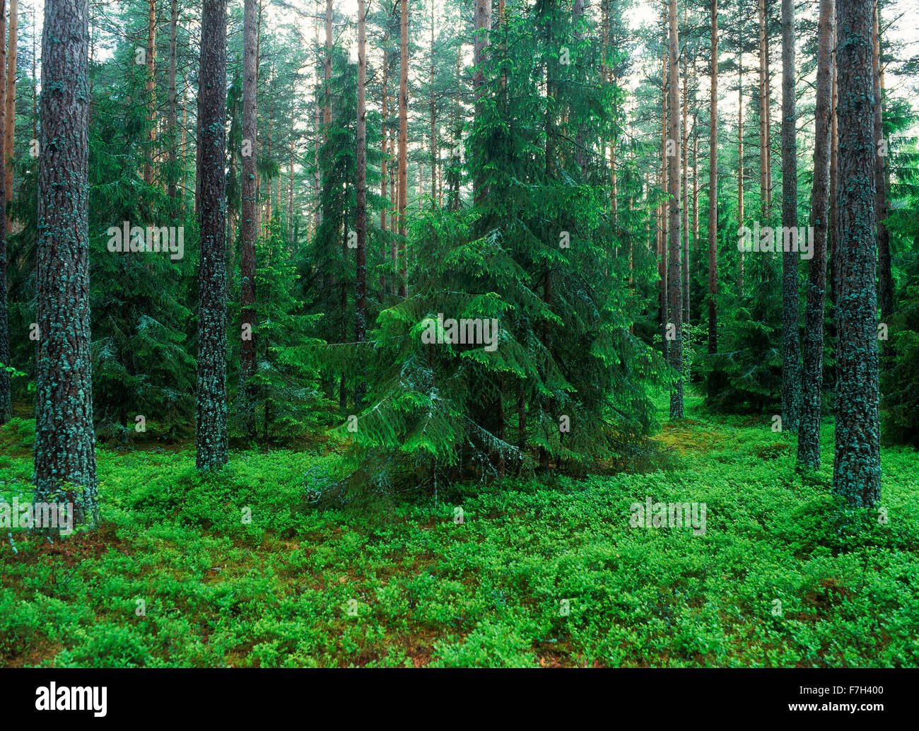 Agriculture pine forest in Uppland, Sweden Stock Photo