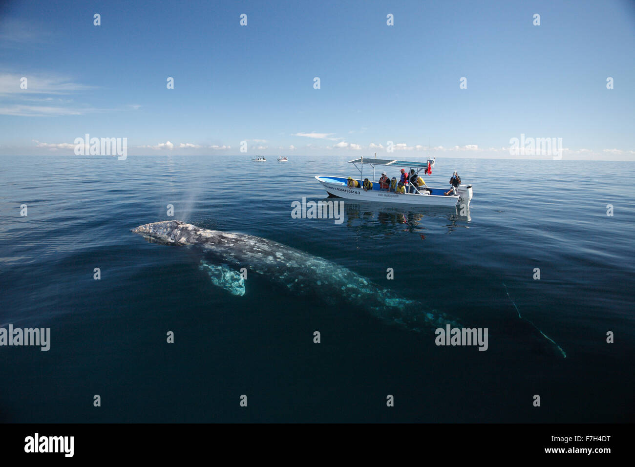 pr7012-D. Gray Whale (Eschrichtius robustus) surfaces to breathe alongside whale-watching boat with tourists. Magdalena - Stock Image