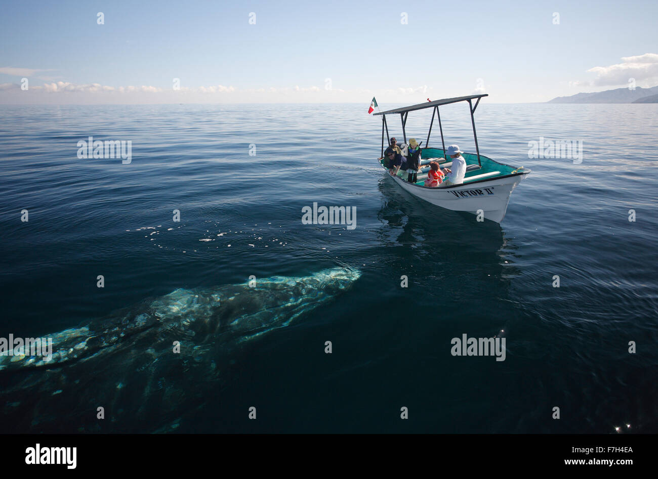 pr7024-D. Gray Whale (Eschrichtius robustus) approaches whale-watching boat with tourists. Magdalena Bay, Baja, - Stock Image