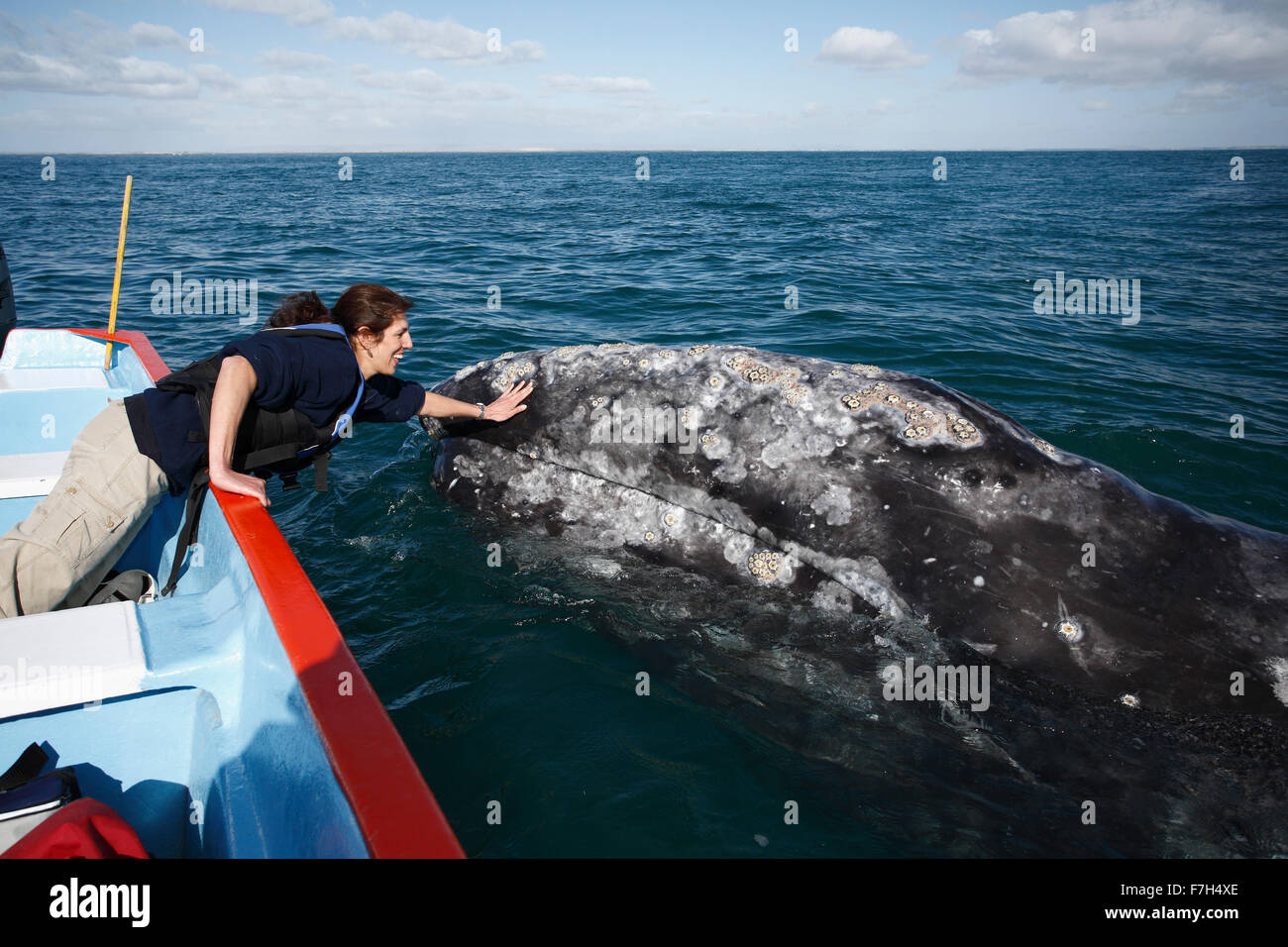 pr7061-D. Gray Whale (Eschrichtius robustus) swims alongside boat and seeks out touch of lucky tourist (model released). - Stock Image