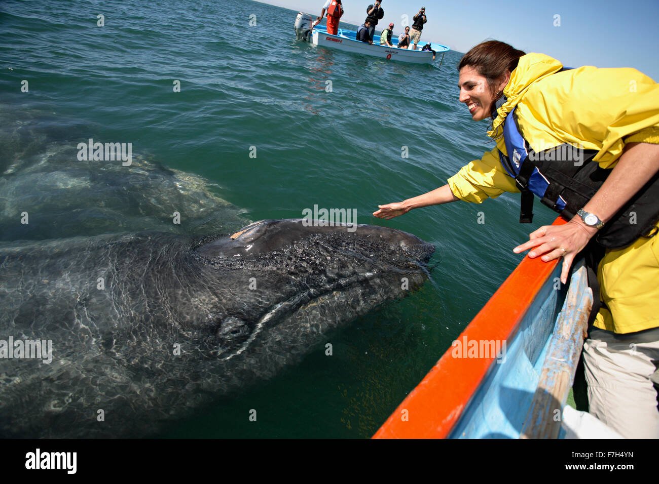 pr0101-D. Gray Whales (Eschrichtius robustus). Baja, Mexico, Pacific Ocean. 'Friendlies'- mom and baby- - Stock Image