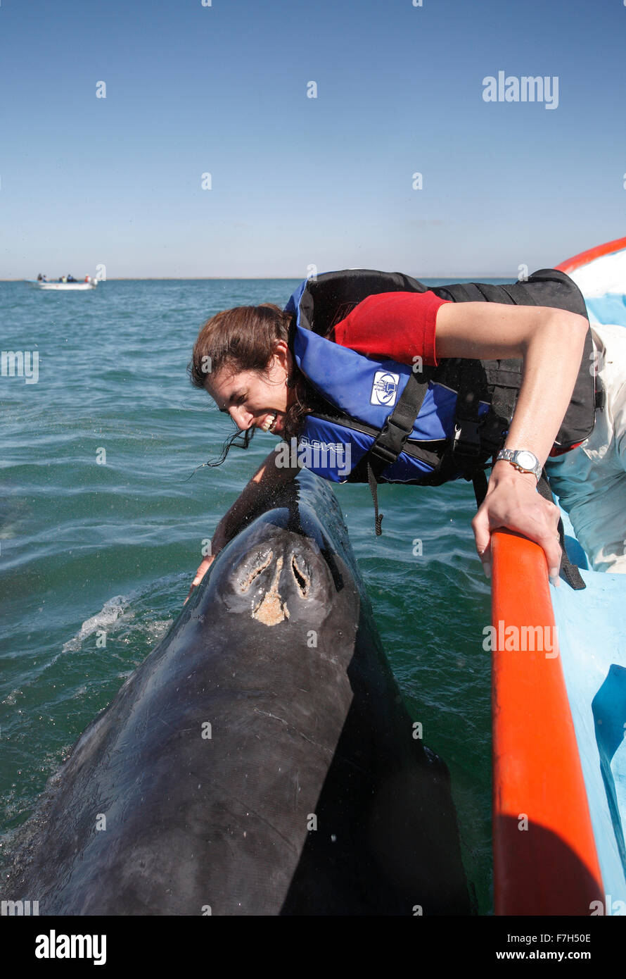 pr7138-D. Gray Whale (Eschrichtius robustus), playful calf interacts with happy tourist (model released). Baja, - Stock Image