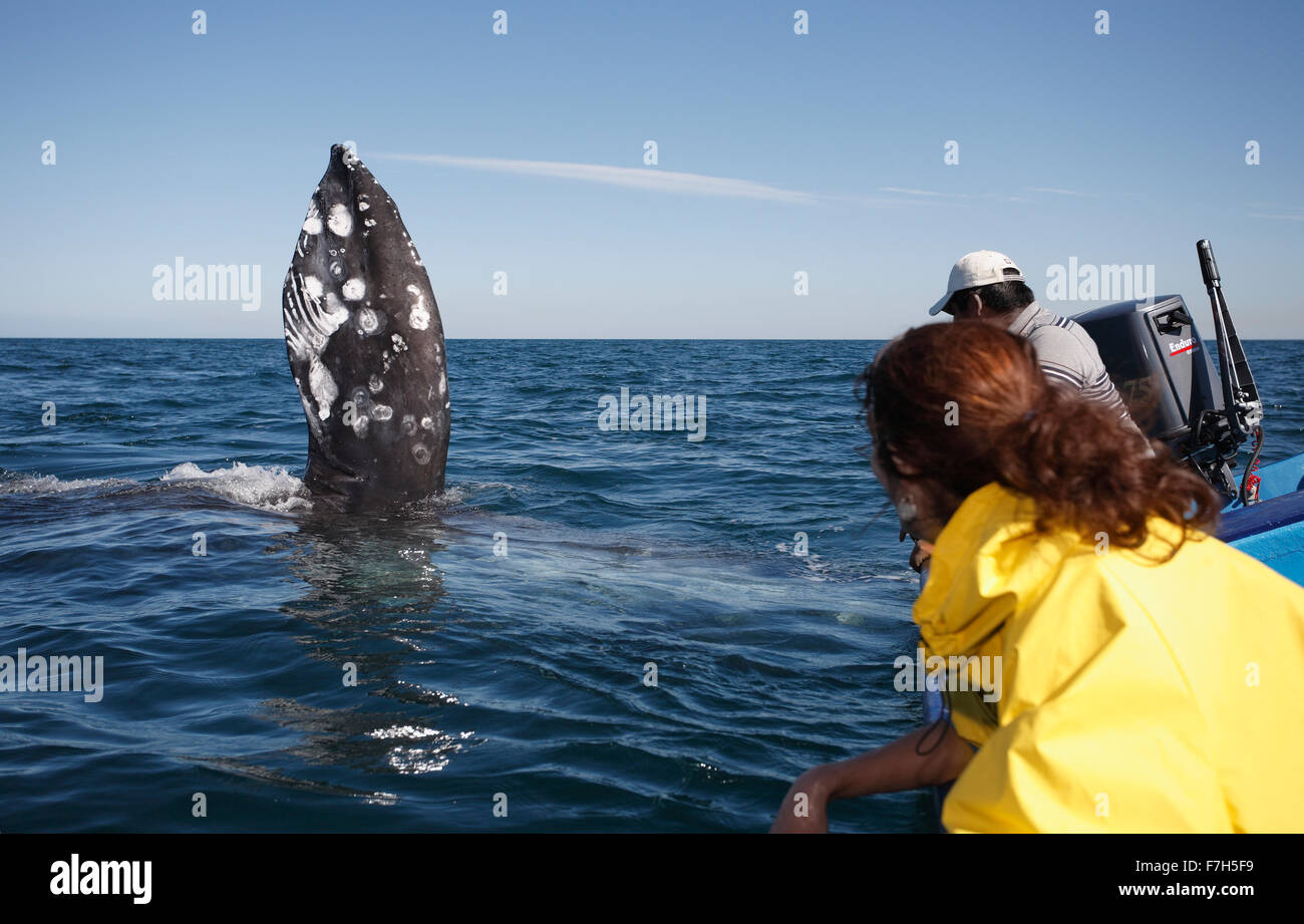 pr7244-D. Gray Whale (Eschrichtius robustus), on its side with pectoral flipper upraised. Baja, Mexico. - Stock Image