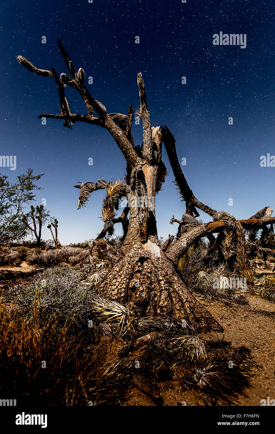 Joshua Tree leaning back in the moonlight - Stock Image