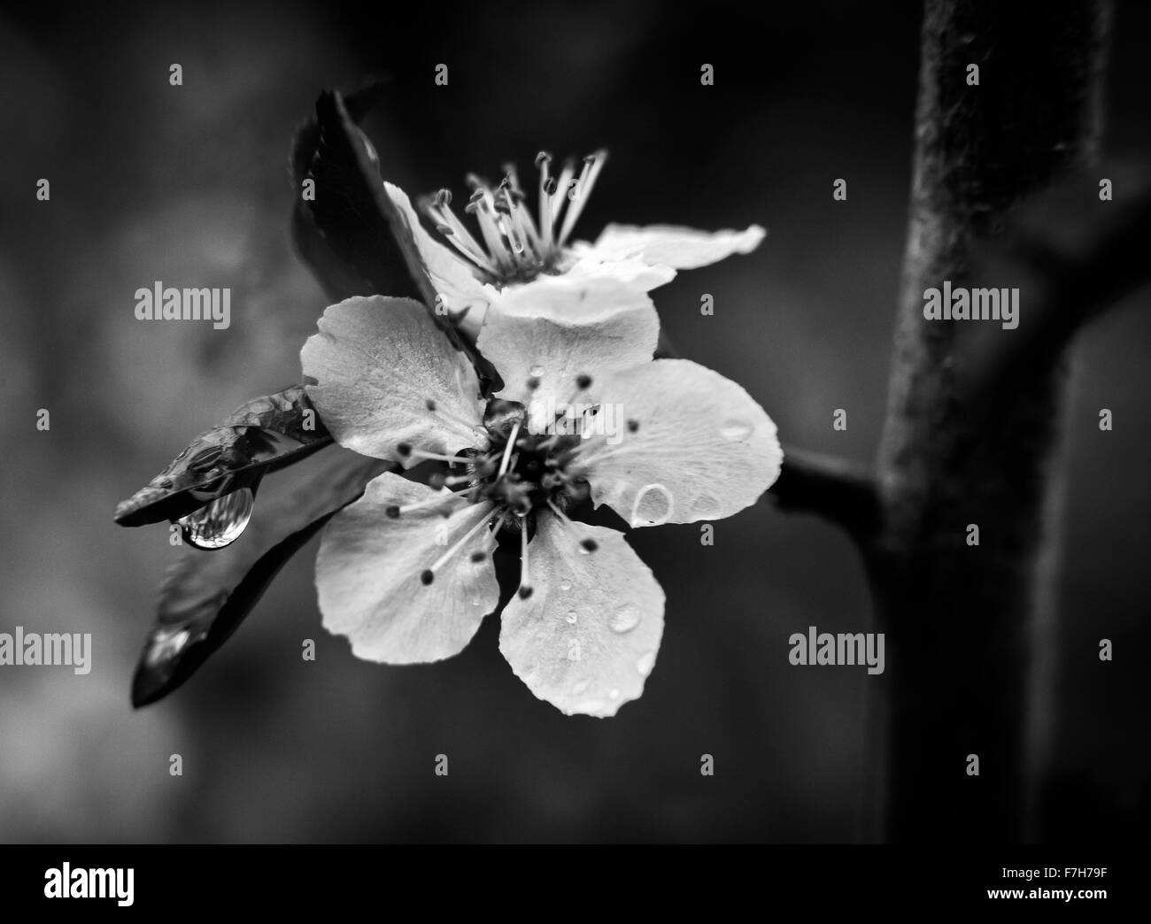 Cherry Blossom Black And White Stock Photos Images