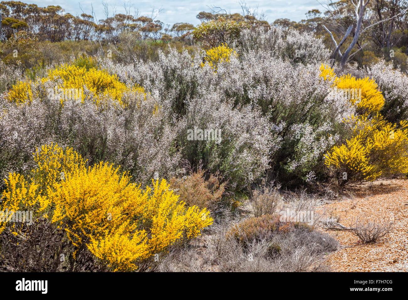 Australia, Western Australia, Great Southern, Eastern Wheatbelt region; spring flowering bush landscape - Stock Image
