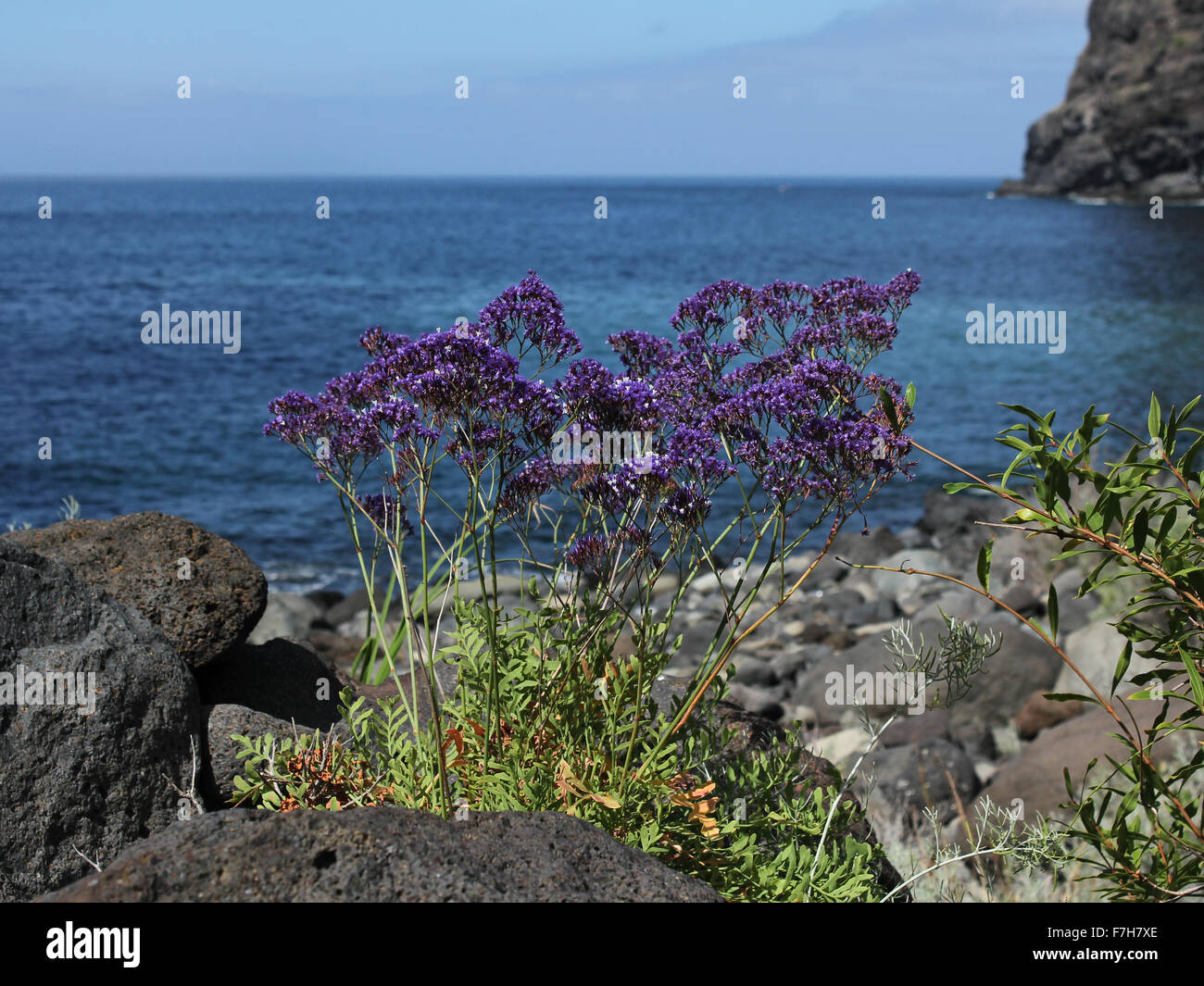 Flowering plant of Limonium spectabile - Stock Image