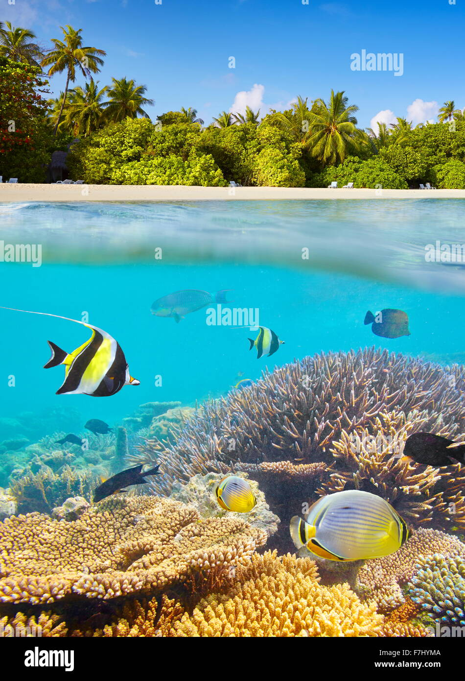 Maldives Islands - underwater view at tropical fish and reef - Stock Image