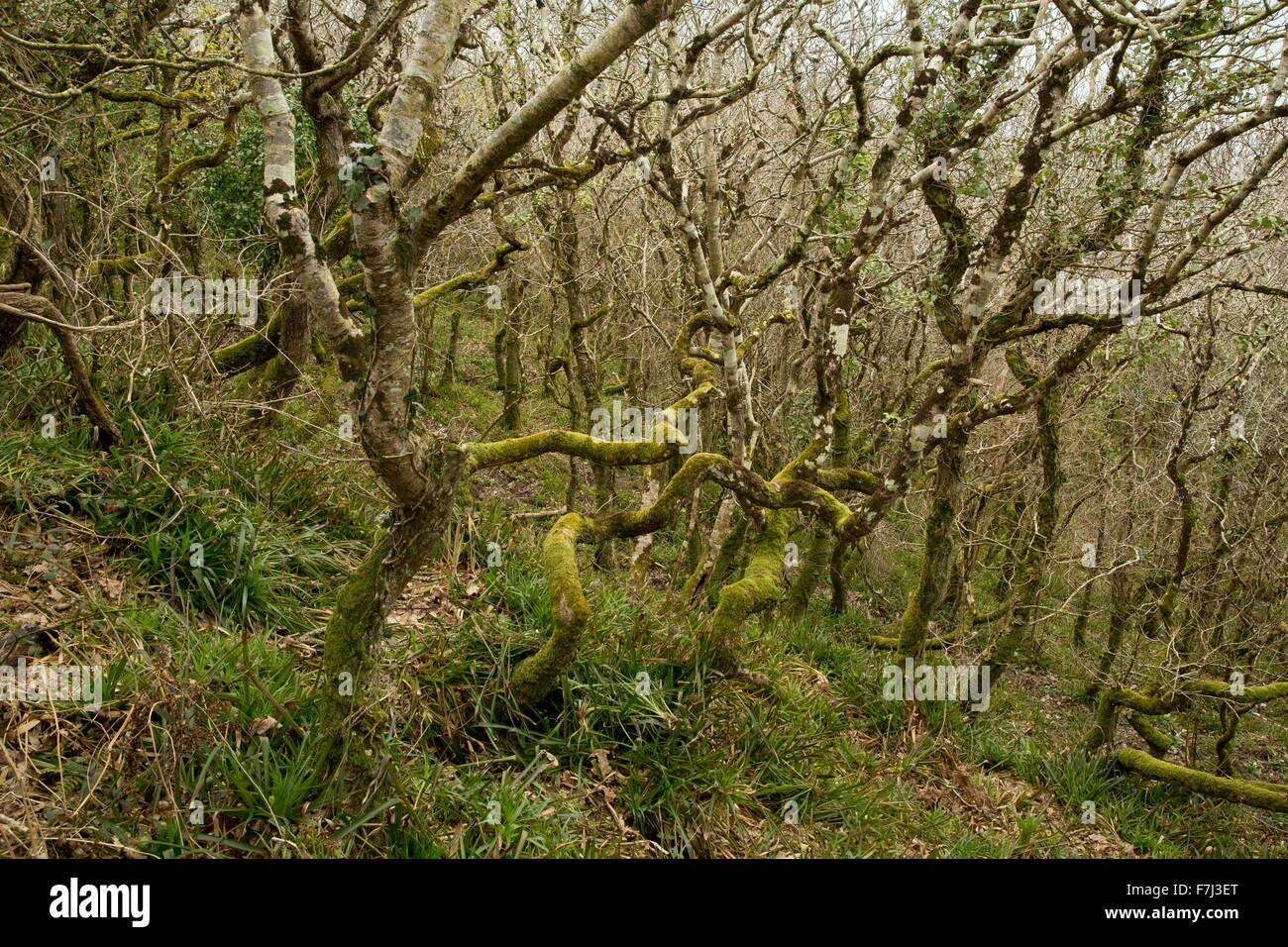Dwarf mixed oak woodland at Dizzard, in the Boscastle to Widemouth SSSI, north Cornish Coast - Stock Image
