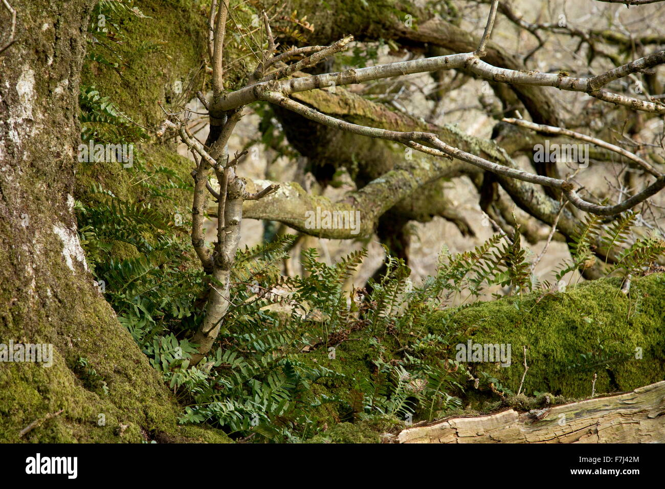 Polypody fern on ancient Sessile Oak pollard, Cloutsham, Exmoor. - Stock Image